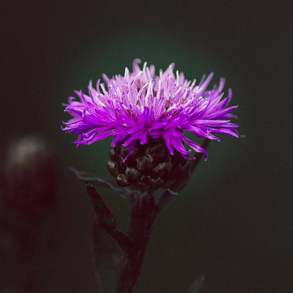 Centaurée noire (Centaurea nigra) | Jardin des vie-la-joie | Artisan semencier
