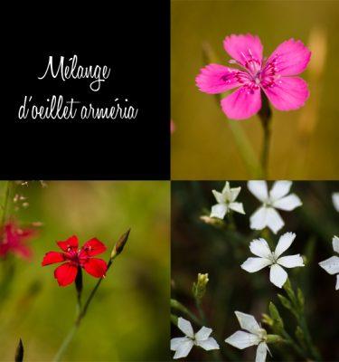 Oeillet arméria mix (Dianthus armeria) | Jardin des vie-la-joie | Artisan semencier
