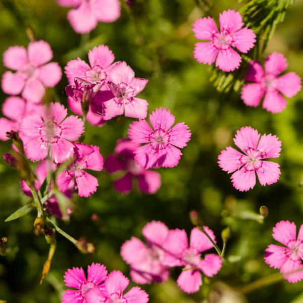 Oeillet arméria rose(Dianthus armeria) | Jardin des vie-la-joie | Artisan semencier