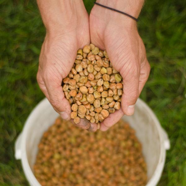 Pois à soupe Gold Harvest (Psium sativum) | Jardin des vie-la-joie | Artisan semencier
