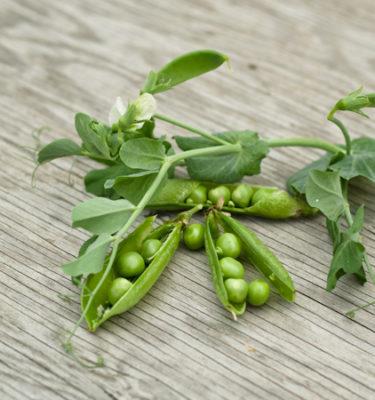 Pois à écosser Petite Merveille (Psium sativum) | Jardin des vie-la-joie | Artisan semencier