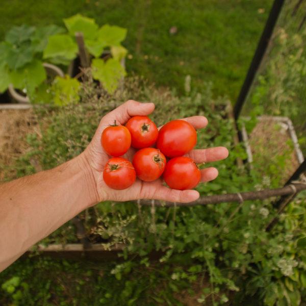 Tomate Canabec Super (Lycopersicon esculentum)   Le jardin des vie-la-joie  Artisan semencier du Québec