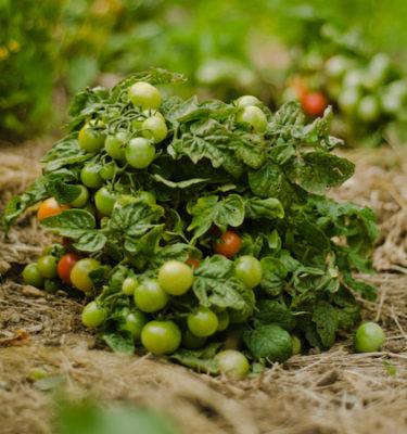 Tomate Minibel (Lycopersicon esculentum) | Le jardin des vie-la-joie| Artisan semencier du Québec