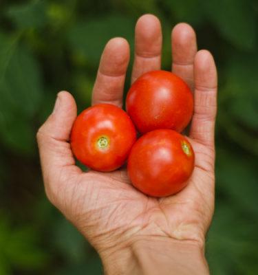 Tomate Polar Baby (Lycopersicon esculentum) | Le jardin des vie-la-joie| Artisan semencier du Québec