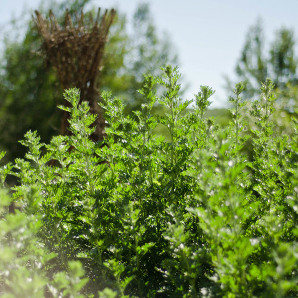 Absinthe (Artemisia absinthium) | Le jardin des vie-la-joie | Semencier artisanal