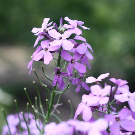 Julienne des Dames (Hesperis matronalis) | Le jardin des vie-la-joie| Artisan semencier du Québec