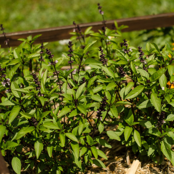 Basilic Thaï ( Ocimum basilicum var. thyrsiflora) | Jardin des vie-la-joie | Artisan semencier