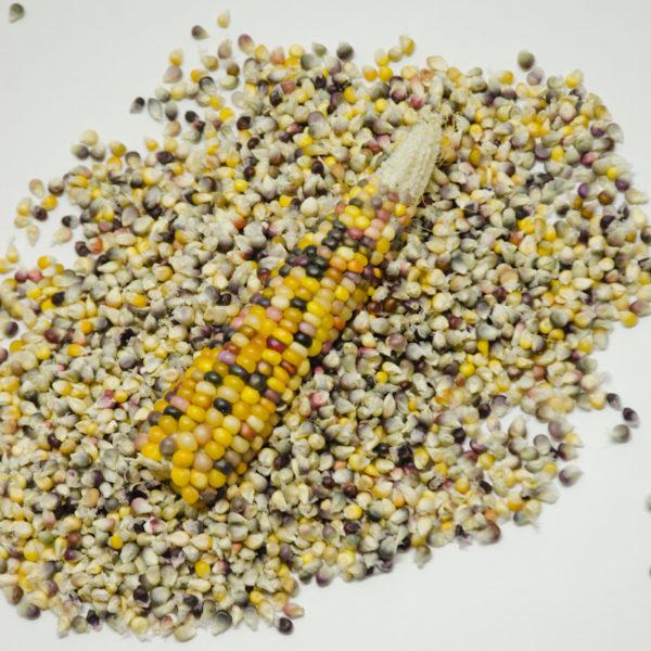 Maïs pop-corn Cherokee Long Ear (Zea mays) | Jardin des vie-la-joie | Artisan semencier