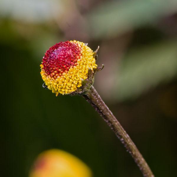 Cresson de Para (Acmella oleracea) | Jardin des vie-la-joie | Artisan semencier