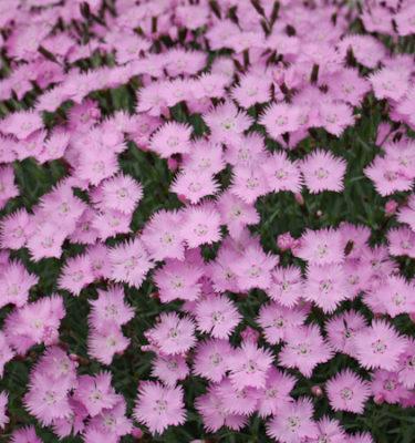 Oeillat mignardise (Dianthus plumaris sp) | Jardin des vie-la-joie | Artisan semencier