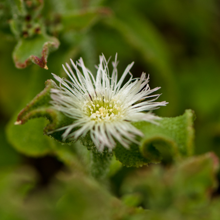 Ficoide Glaciale (Mesembryanthemum crystallinum) | Jardin des vie-la-joie | Artisan semencier