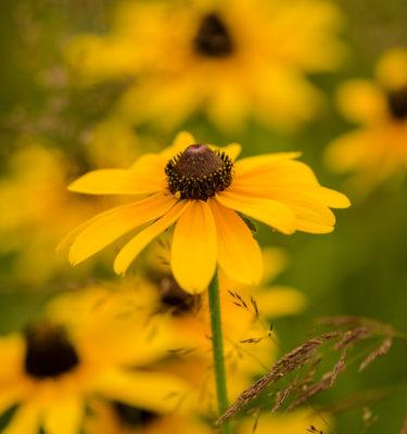 Rudbeckie hérissé (Rudbeckia hirta) | Jardin des vie-la-joie | Artisan semencier
