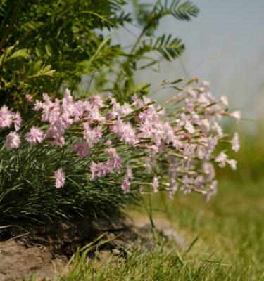 Oeillet mignardise (Dianthus plumaris sp) | Jardin des vie-la-joie | Artisan semencier