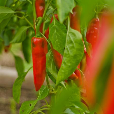 Piment Espelette (Capsicum annuum) | Jardin des vie-la-joie | Artisan semencier