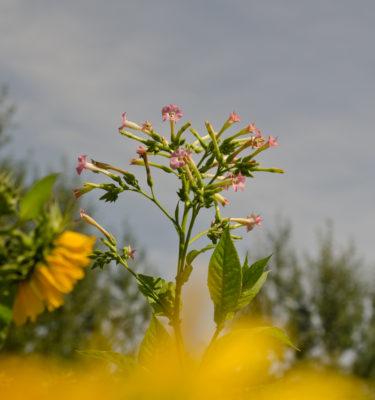 Tabac Mostrenco (Nicotiana tabacum) | Jardin des vie-la-joie | Artisan semencier