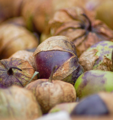 Tomatillo Pourpre de Milpa (Physalis ixocarpa) | Jardin des vie-la-joie | Artisan semencier