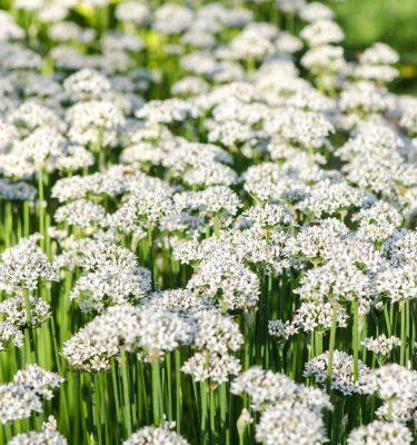 Ciboulette à l'ail (Allium tuberosum) | Jardin des vie-la-joie | Artisan semencier