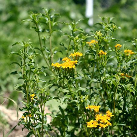 Estragon mexicain (Tagetes lucida)| Jardin des vie-la-joie | Artisan semencier