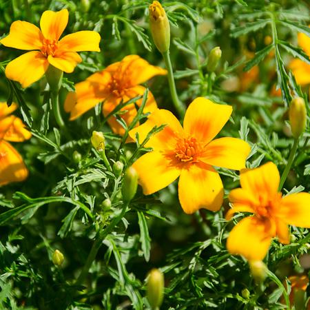Tagètes (Tagetes tenuifolia) | Jardin des vie-la-joie | Artisan semencier