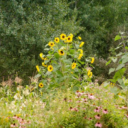 Tournesol Arc-en-ciel (Helianthus annus)   Jardin des vie-la-joie   Artisan semencier