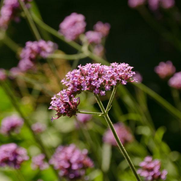 Vervaine de Buenos Aires (Verbena bonariensis) | Jardin des vie-la-joie | Artisan semencier