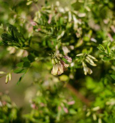 Semences d'astragale (Astragalus membranaceus) | Jardin des vie-la-joie | Artisan semencier