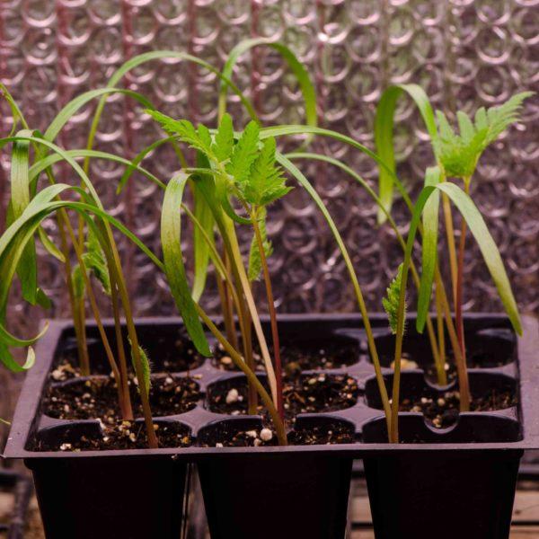 Cerfeuil anisé (Myrrhis odorata) ) | Le jardin des vie-la-joie| Artisan semencier du Québec