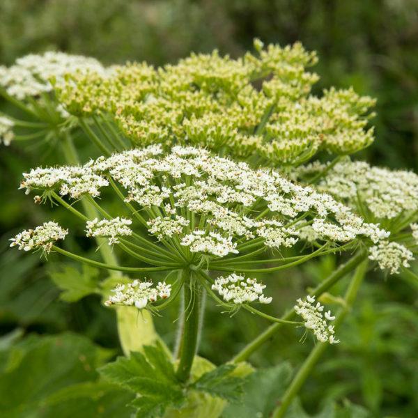 Chervis (Sium sisarum) | Jardin des vie-la-joie | Artisan semencier