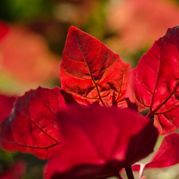 Arroche rouge (Atriplex hortensis) | Le jardin des vie-la-joie| Artisan semencier du Québec