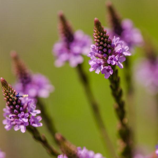 Verveine bleu (Verbena hastata) | Jardin des vie-la-joie | Artisan semencier