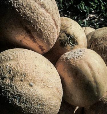 Melon Oka (Cucumis melo) | Jardin des vie-la-joie | Artisan semencier