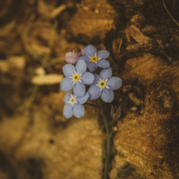 Myosotis (Myosotis sylvatica)   Jardin des vie-la-joie   Artisan semencier