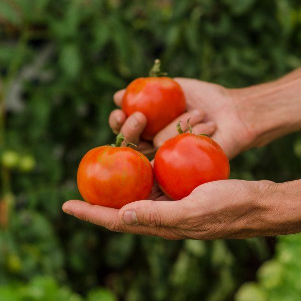 Tomate Plourde (Lycopersicon esculentum) | Le jardin des vie-la-joie| Artisan semencier du Québec