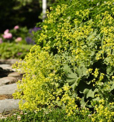 Alchémille (Alchemilla vulgaris) | Jardin des vie-la-joie | Artisan semencier