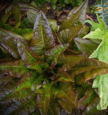 Laitue Oreille du Diable (Lactuca sativa) | Jardin des vie-la-joie | Artisan semencier