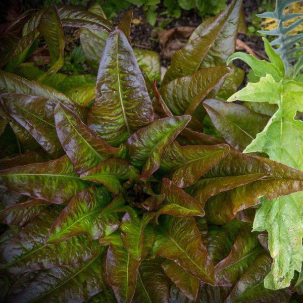 Laitue Oreille du Diable (Lactuca sativa)   Jardin des vie-la-joie   Artisan semencier