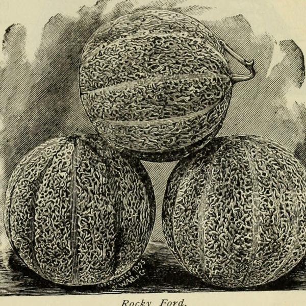 Melon Eden's Gem / Rocky Ford (Cucumis melo) | Jardin des vie-la-joie | Artisan semencier