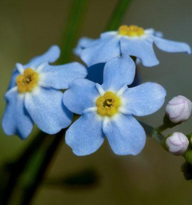 Myosotis (Myossotis sylvatica) | Jardin des vie-la-joie | Artisan semencier