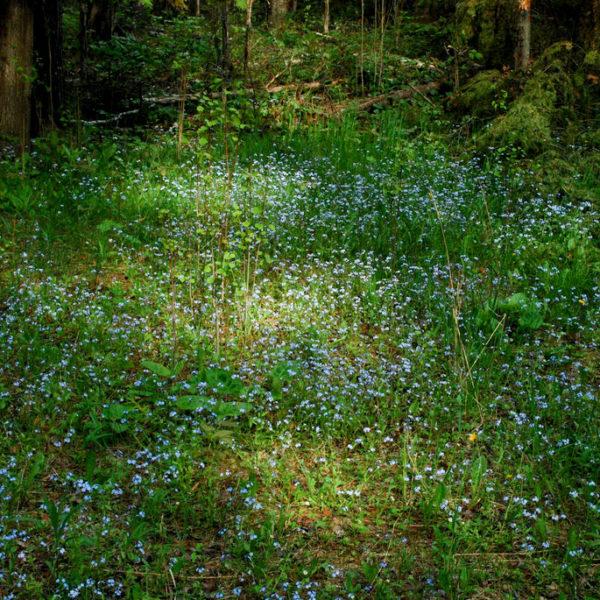 Myosotis (Myosotis sylvatica) | Jardin des vie-la-joie | Artisan semencier