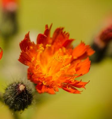 Épervière orangée / Piloselle (Pilosella auratiaca) | Jardin des vie-la-joie | Artisan semencier