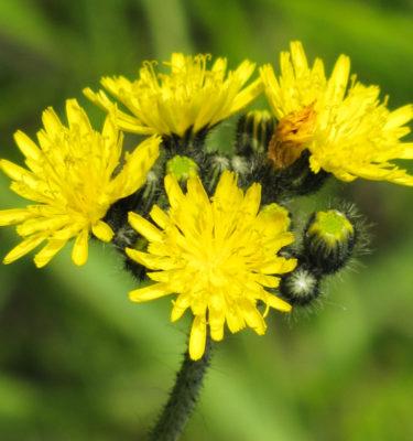 Épervière piloselle (Pilosella auratiaca) | Jardin des vie-la-joie | Artisan semencier