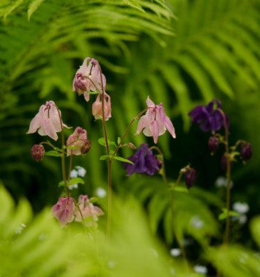 Ancolie des jardins Mix (Aquilegia coerulea ) | Jardin des vie-la-joie | Artisan semencier