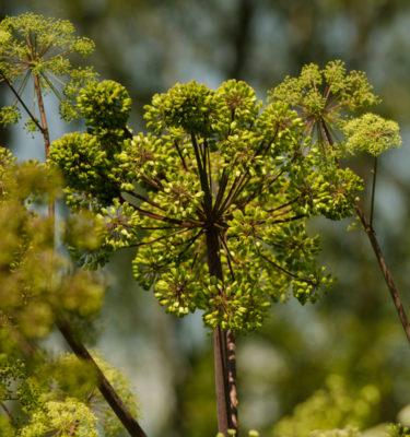 Angélique officinale (Angelica archangelica) | Jardin des vie-la-joie | Artisan semencier