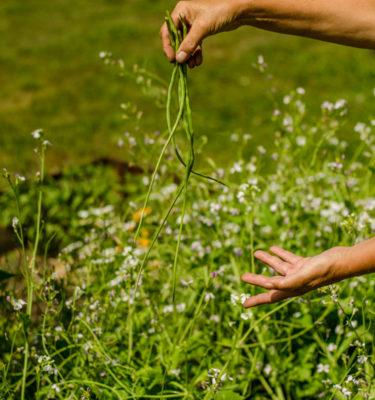 Radis Serpent / Radis Queue de Rat ( Raphanus sativus var. mougri) | Jardin des vie-la-joie | Artisan semencier