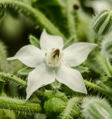 Bourrache blanche (Borago officinalis) | Jardin des vie-la-joie | Artisan semencier