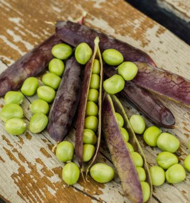 Pois à soupe et à écosser King Tut (Psium sativum) | Jardin des vie-la-joie | Artisan semencier