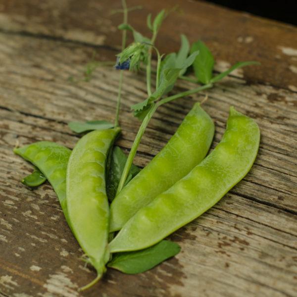 Pois Mange-tout Carouby de Maussane(Psium sativum) | Jardin des vie-la-joie | Artisan semencier