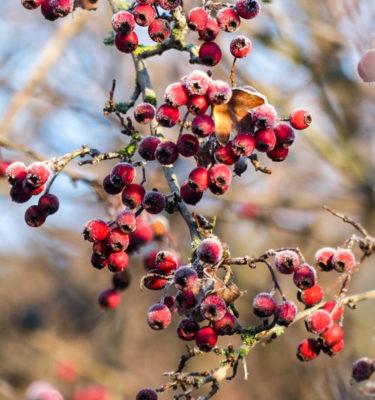 Aubépine (Crataegus sanguinea) | Jardin des vie-la-joie | Artisan semencier
