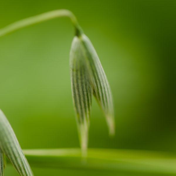 Avoine (Avena sativa) | Jardin des vie-la-joie | Artisan semencier