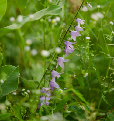 Campanule Fausse-raiponce (Campanula rapunculoides) | Jardin des vie-la-joie | Artisan semencier